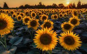 Sunflower Laptop Wallpapers - Top Free ...