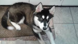 husky ing with his toy