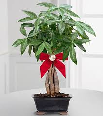 feng shui plant office. Feng Shui Money Tree Plant Office I