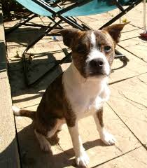 jack russell terrier mixed breeds. Boston Terrier Jack Russell On Mixed Breeds