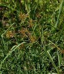 Flora of Zimbabwe: Species information: Cyperus esculentus