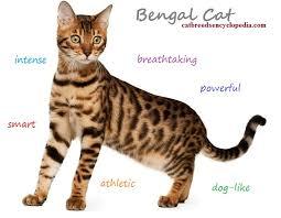 The Bengal Cat Cat Breeds Encyclopedia