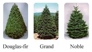 Backyard Landscape Christmas Tree Types The Types And Variety Of Types Of Fir Christmas Trees