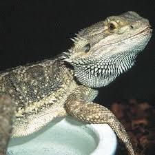 petsmart reptiles for sale. Brilliant Petsmart Bearded Dragon  PetSmart Want One Inside Petsmart Reptiles For Sale N
