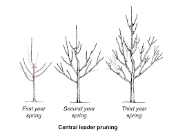 Diagram Showing Three Trees In Stages Of Central Leader Pruning Cherry Fruit Tree Care