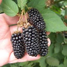 30 Best Berries Images On Pinterest  Gardening Fruit Garden And Tree With Blackberry Like Fruit