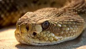 rattlesnake head. Contemporary Head Severed Rattlesnake Head Bites Man To Rattlesnake Head A