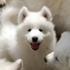 A Samoyed dog breed advice