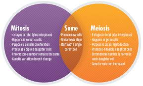 Mitosis Vs Meiosis Key Differences Chart And Venn Diagram
