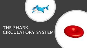 The Shark Circulatory System