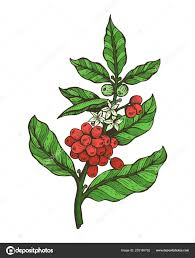 coffee plant illustration vector. Brilliant Coffee Coffee Tree Colorful Plant Vector Illustration U2014   To A