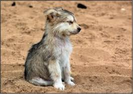 wolf pup baby wolf dog puppies howling myexoticworld