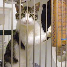 cats in animal shelters. Perfect Shelters With Cats In Animal Shelters