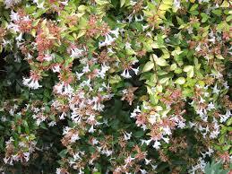 10 best flowering trees and shrubs for