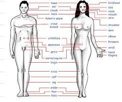 جسم الانسان Human Body