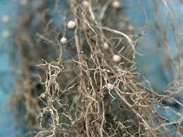 Test For Soybean Cyst Nematode Agweb