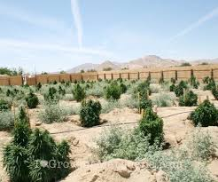 Climates How To Grow Marijuana In Hot Dry Climate Dopey Times
