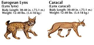 lynx size abes animals size difference between european lynx and caracal