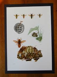 Vintage Print Of Wasps Educational School Chart Insect Entomology 1961
