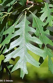 Oak Leaf Comparison Eloise Butler Wildflower Garden