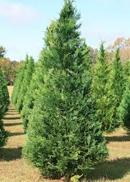 Mississippi Christmas tree growers offer high-quality, beautiful trees for  holiday decorating. These