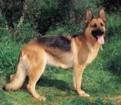 German Shepherd Dog Dog Breed Health