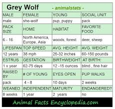 grey wolf size wolf facts animal facts encyclopedia