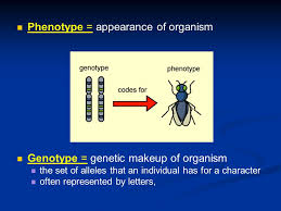 appearance of organism genotype genetic makeup of organism the set of alleles that an individual has for a character often represented by letters