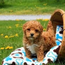 bich poo puppies