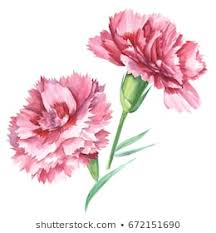 Image result for pictures of carnations