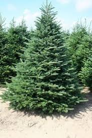 What Is The Best Real Christmas Tree Where Can I Buy Them And How Types Of Fir Christmas Trees