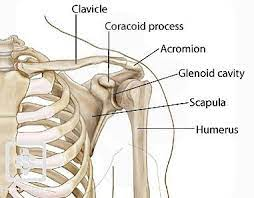 The humerus is the single bone of the upper arm region. Bones Joints Of The Shoulder Shoulderdoc