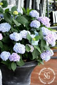 Ideas, planting hydrangeas in pots and urns stonegable in measurements 900  x 1350 .