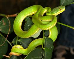 Image result for Bamboo pit Viper /images