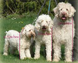 Labradoodle Color Chart About Labradoodles Aussiedoodle And Labradoodle Puppies