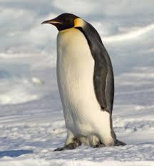 real emperor penguin. Contemporary Real Emperor Penguin To Real M