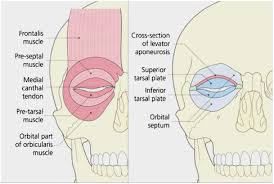 Eyelid Anatomy Lower Eyelid Anatomy Awesome The Eyelids Anatomy Of