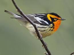 Warbler Id Chart Blackburnian Warbler Identification All About Birds