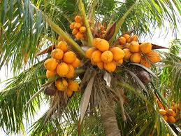 Palm Fruit PNG Images  Vectors And PSD Files  Free Download On Palm Tree Orange Fruit