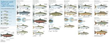 Salmon And Trout Identification Steelhead And Salmon