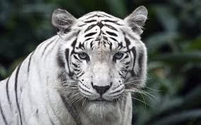 white tiger wallpaper desktop. Wonderful Wallpaper White Tiger HD Wallpapers For Desktop Free And Wallpaper T