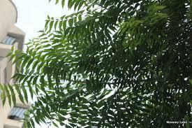day the dreamcatcher inspired by neem leaves  neem leaves trees of delhi
