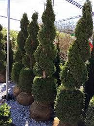 live double with ball thuja 6 to 7 feet tall