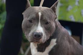 Maybe you would like to learn more about one of these? Blue Staffordshire Terrier 28 Fotos Descricao Da Cor Azul Americana Amstaff Filhotes De Conteudo