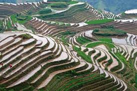chinese rice field.  Rice South Sulawesi Terraced Rice Fields  China Rice Fields And Chinese Field I