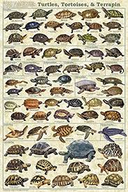 pictures of turtles to print. Wonderful Print Turtles Tortoises U0026 Terrapin Laminated Educational Science Animal Chart  Print Poster 24x36 In Pictures Of Turtles To I