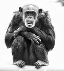 フリー画像動物写真哺乳類猿サルチンパンジーモノクロ写真フリー