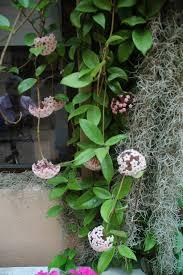 Algumas espécies crescem como plantas pendentes e há ainda outras que crescem como pequenos arbustos. La Hoya Carnosa Flor De Cera Jardines Sin Fronteras