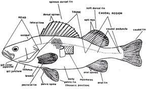 internal  amp  external fish anatomy   aquarium fishkeeping care    diagram showing internal anatomy of a fish