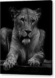 lioness black and white. Fine Lioness Black And White Lioness Canvas Print  Portrait By Martin Newman G